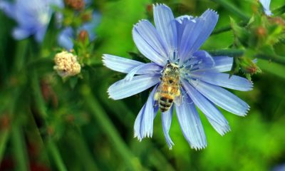 common-chicory-408528_1280